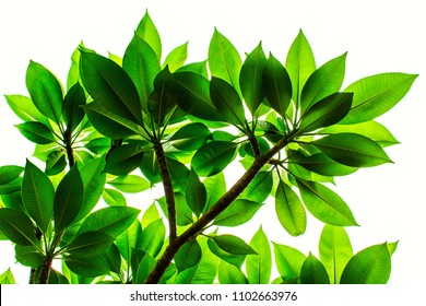 Fresh light green Plumeria or Frangipani leaves pattern are growing on tree with clear white background