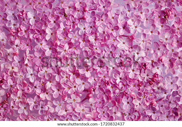 Fresh lilac flower petals floating on water. Purple spring lilac flowers.
