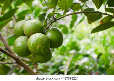 fresh lime fruit on branch with droplets