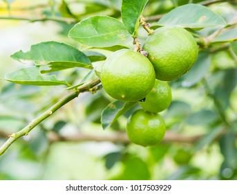 Fresh lime green on the tree, lemon thai.