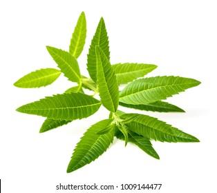 fresh lippia leaves on the white background