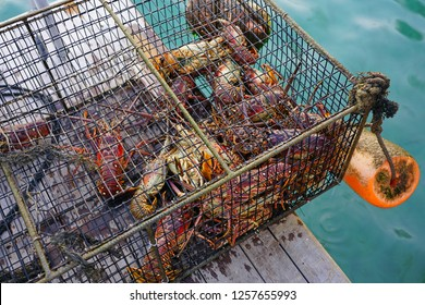 Fresh live spiny lobster just picked from the Caribbean Sea