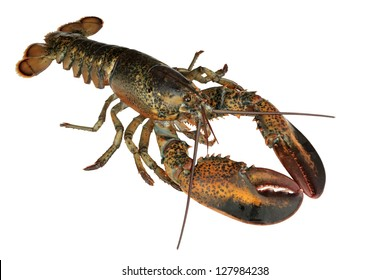 Fresh lobster isolated on white background