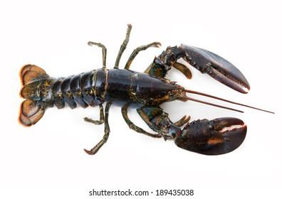 fresh lobster on white background