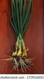 Fresh local organic green onion.