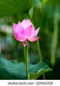 fresh lotus in the pond