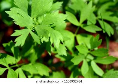 Fresh lovage (Levisticum officinale) plant growing in a urban garden