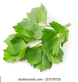 Fresh lovage twig isolated on white background. Culinary aromatic herbs.