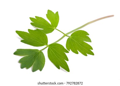 Fresh lovage twig (Levisticum officinale) isolated on white background