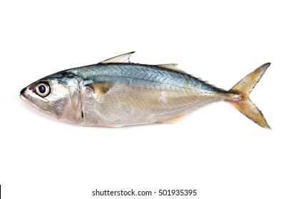Fresh mackerel isolated on white background.Fresh mackerel fish isolated.Mackerel fish isolated.Mackerel isolated