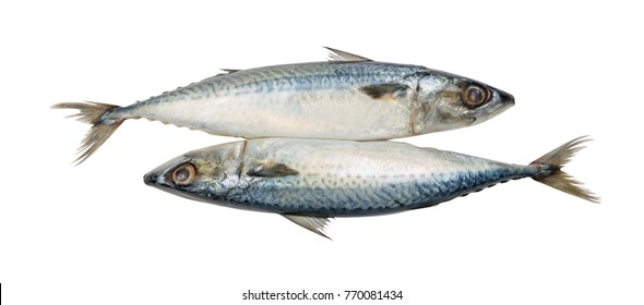 Fresh mackerel isolated on white background with clipping path.