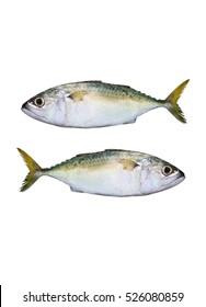 fresh mackerels isolated on white background