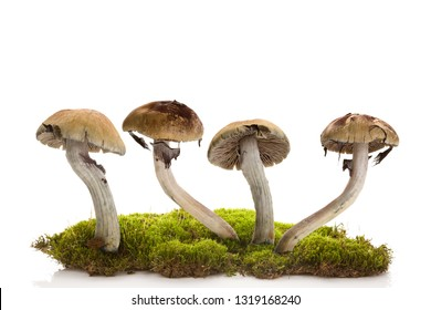 Fresh magic mushrooms on moss  isolated over white background. Hallucinogenic psychedelic mushrooms. Alternative medicine.