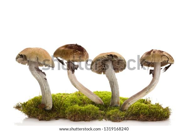 Fresh magic mushrooms on moss  isolated over white background. Hallucinogenic psychedelic mushrooms. Alternative medicine.