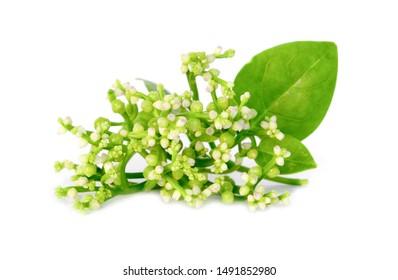 fresh malabar spinach or Ceylon spinach isolated on white background