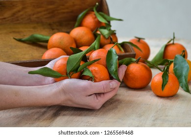 Fresh mandarin oranges fruit or tangerines with leaves on the wooden background. Female hands holding ripe mandarins, close up