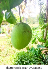 Fresh mango, the tree just outside the house,placed in sugud,penampang,sabah
