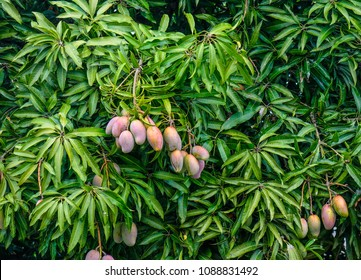 Fresh mangoes on tree at sunny day in summer.