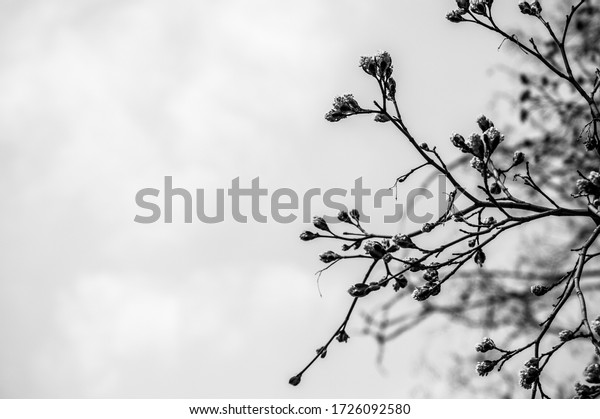 fresh-maple-buds-on-branches-600w-172609