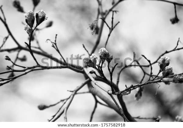 fresh-maple-buds-on-branches-600w-175758