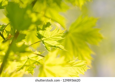 fresh maple leaves in a sunny spring day