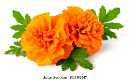 fresh marigold flowers isolated on white background