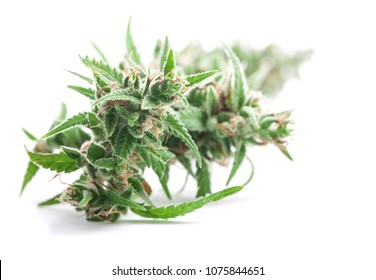 Fresh Medical marijuana isolated on white background. Therapeutic and medicinal cannabis