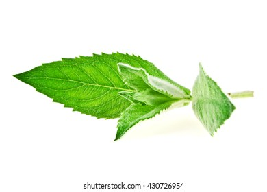 Fresh melissa isolated on a white background