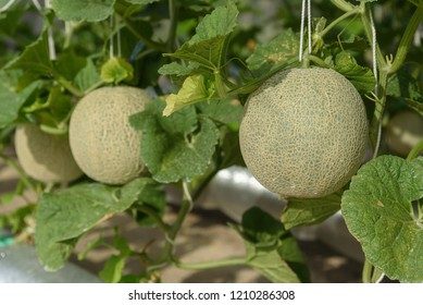 Fresh melons or green melons or cantaloupe melons plants growing in greenhouse supported by string melon nets. - Shutterstock ID 1210286308