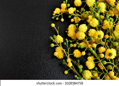 Fresh mimosa flowers on a black background.
