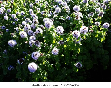 Fresh mint with flowers in a garden. Family: Lamiaceae.
