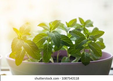 Fresh Mint Herb in Pot at window. kitchen Interior. cooking ingredient. summer Plant for coktails. home.