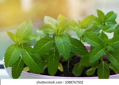 Fresh Mint Herb in Pot at window. kitchen Interior. cooking ingredient.