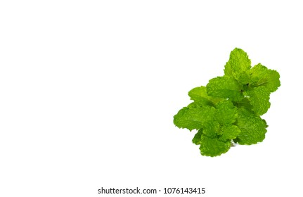 Fresh mint leaves isolated on white background. can used for herb or food articles. Copy space for text or objects.