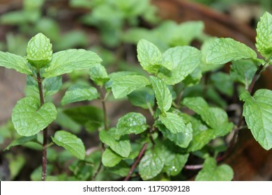Fresh Mint leaves. (Mentha, from Greek míntha, Linear B mi-ta).There are several uses in traditional medicine and preliminary research for possible use in treating irritable bowel syndrome.