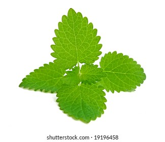 fresh mint on the white background