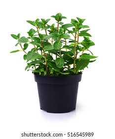 Fresh mint plant in a black pot isolated on white