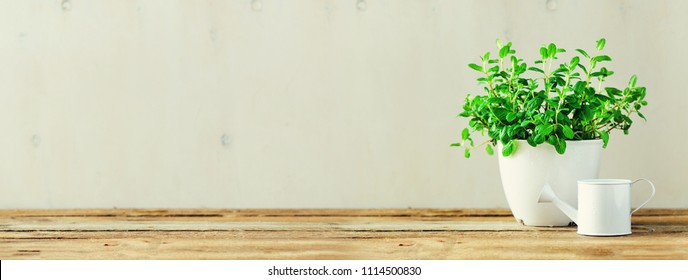 Fresh mint in pot on white and wooden background with copy space. Banner. Spring, summer concept. Fresh potted herb