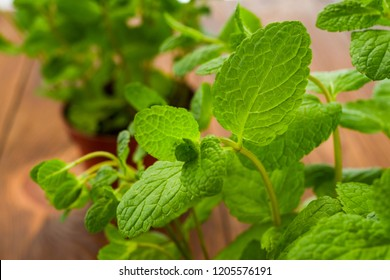 fresh mint in pots on a table