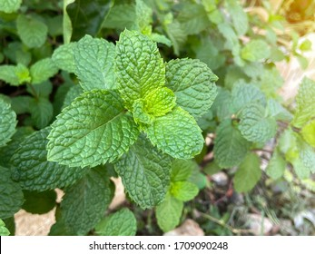 Fresh mint tree in the organic garden Peppermint And is a medicinal plant