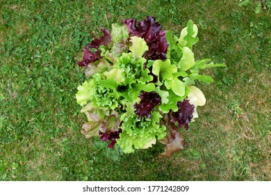 Fresh mixed lettuce plants with red and green salad leaves seen from above on a grass lawn