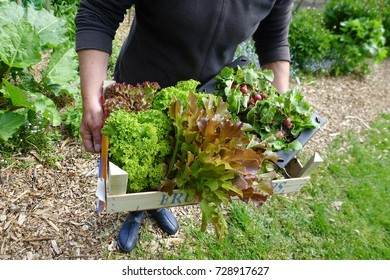 fresh mixed lettuce from the vegetable garden