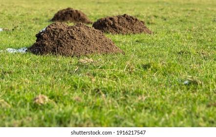 Fresh mole hills in a field