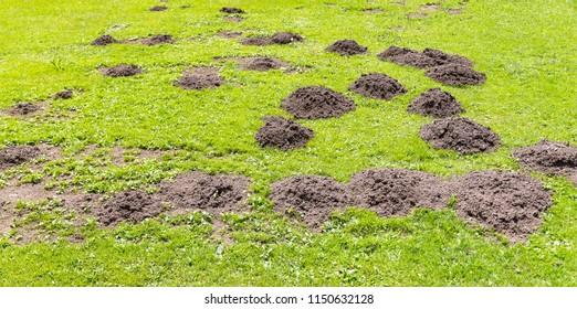 Fresh mole hills on a garden meadow.