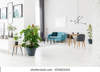 Fresh Monstera Deliciosa in a pot standing in white flat interior with posters and blue lounge