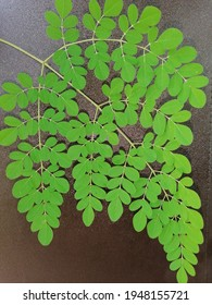 Fresh Moringa leaves in black background. Healthy leaves.