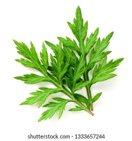 fresh mugwort leaves isolated on white background