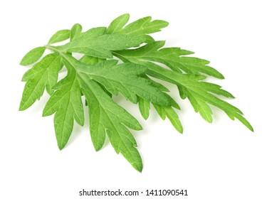 fresh mugwort leaves isolated on white background