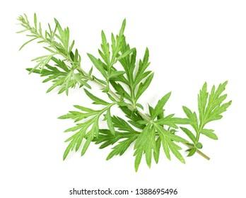 fresh mugwort twigs isolated on white background