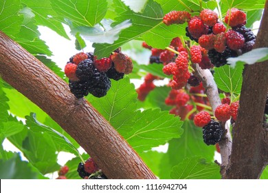 Fresh mulberry, black ripe and red unripe mulberries on the branch of tree.